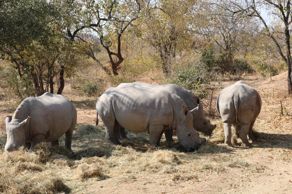 Rhinos feeding on hay in HESC facility