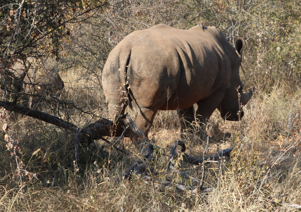 Here is an image of three rhinos in the wild. There are two in the background a mother and her calf and clearly the one in front.