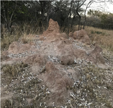 Here is an image of a large, active termite mound.