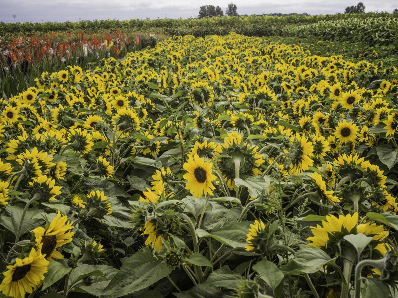 richmondsunflowers (1 - 34).jpg