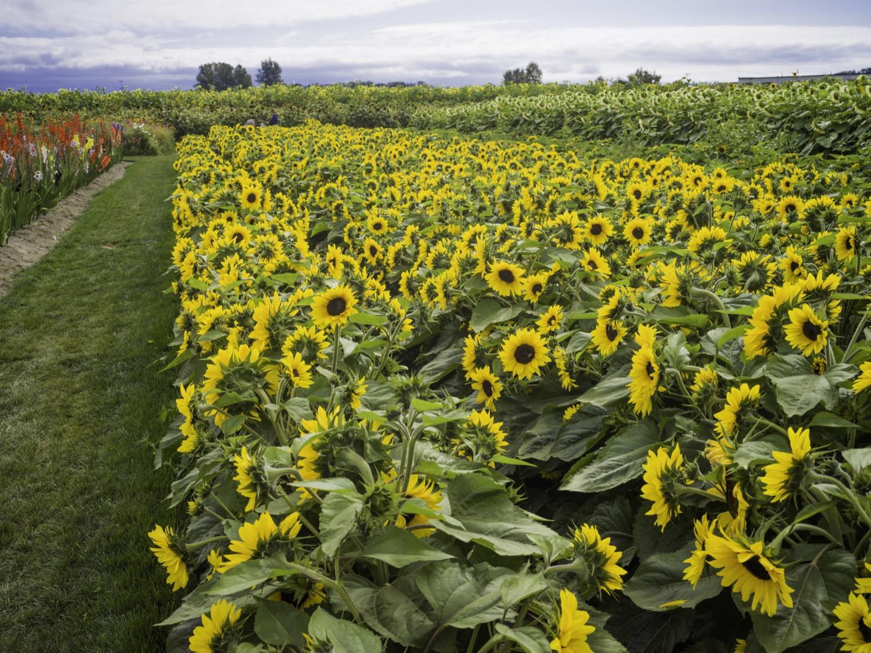 richmondsunflowers (3 - 34).jpg