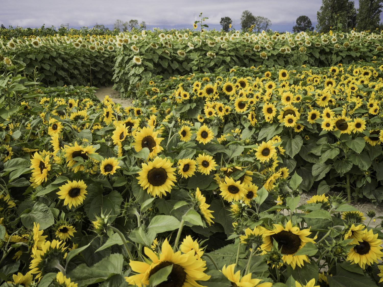 richmondsunflowers (6 - 34).jpg
