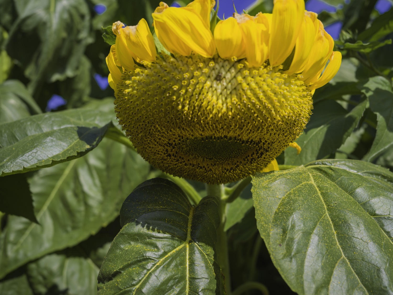 richmondsunflowers (17 - 34).jpg