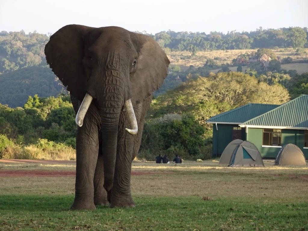 Elefant på savann