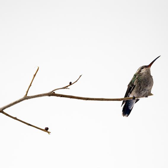 Hummingbird induced to a deep sleep, 2006