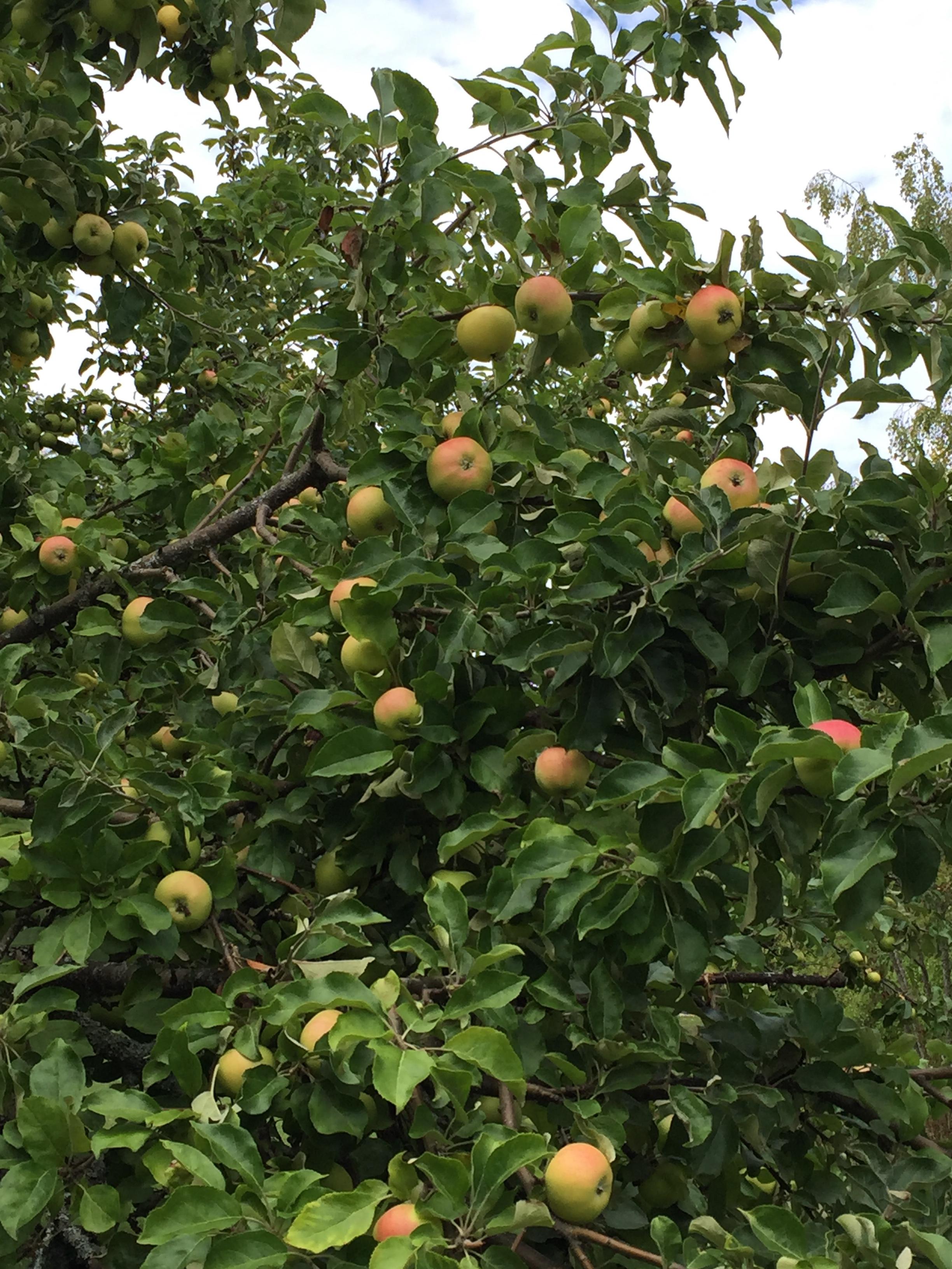 Framåt sensommaren är äpplena mogna
