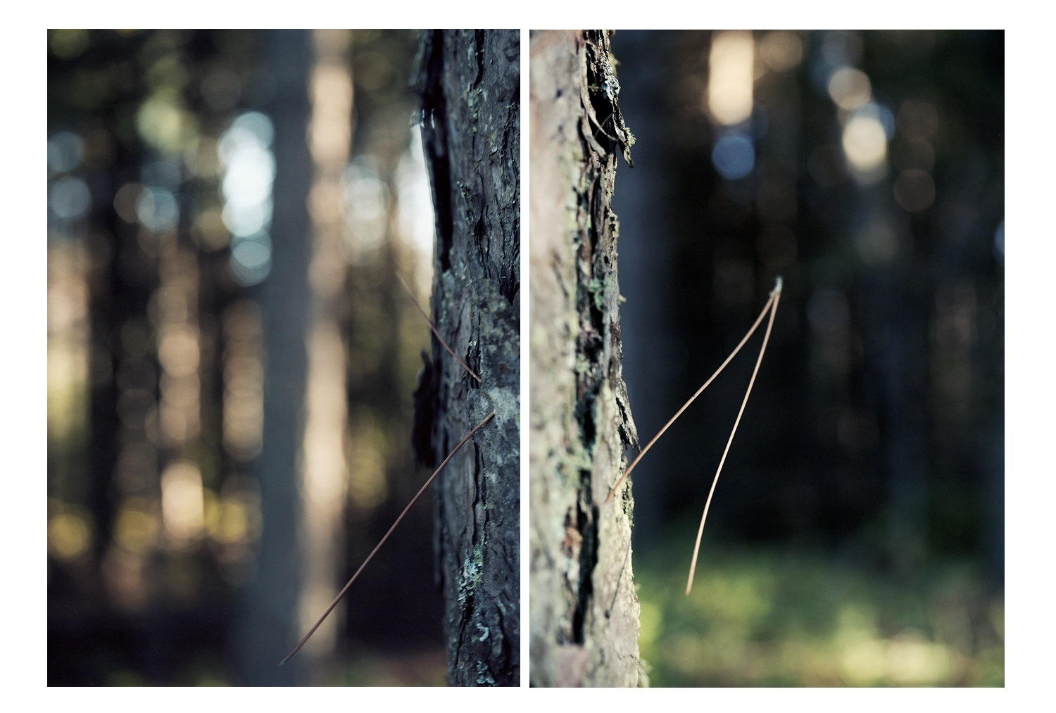 Boreal Forest/ Iona's Woods