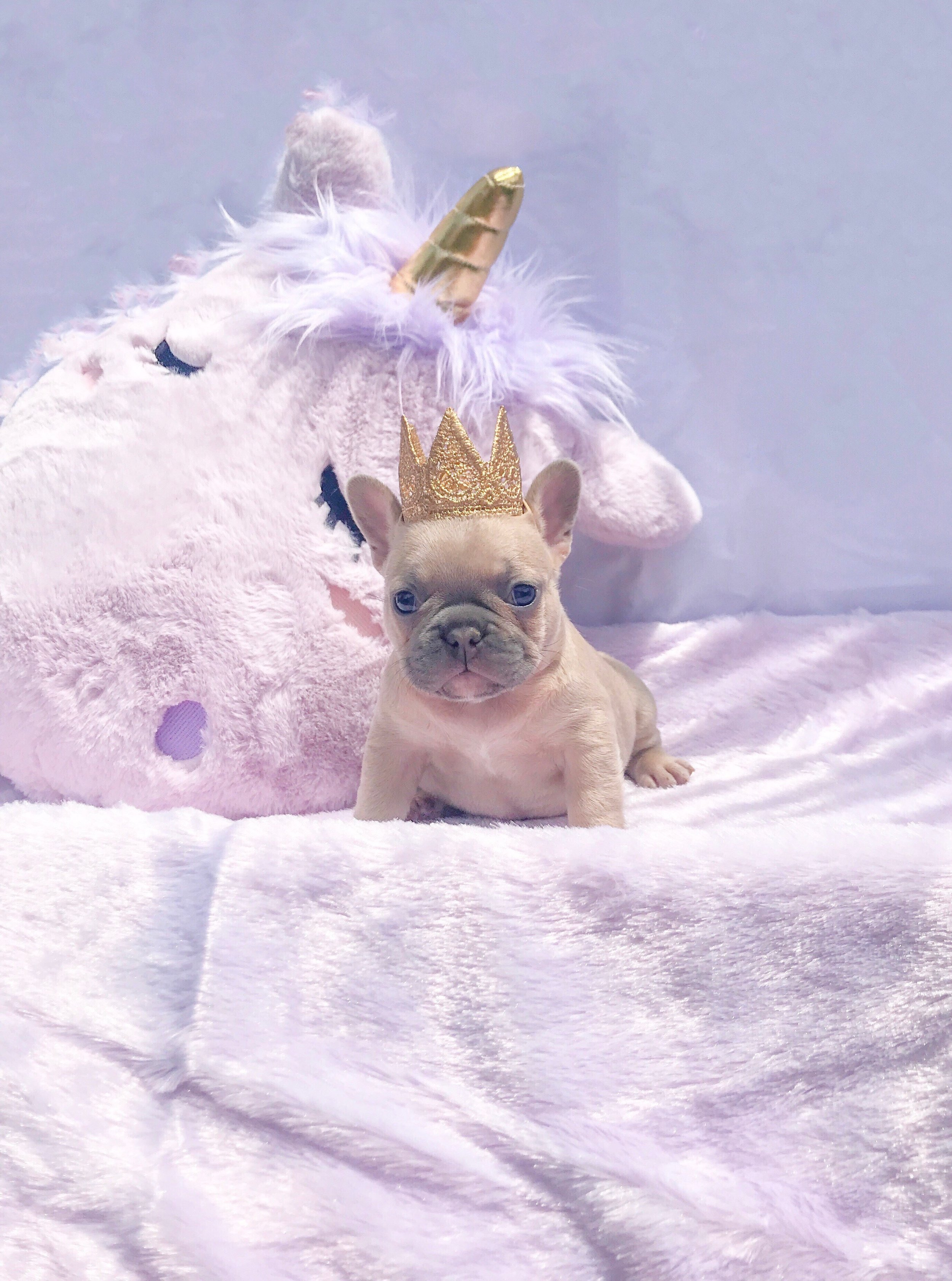 Vixzyn - Where do I begin.. Mercy, Miami Frenchies and their wonderful Ace of Spades. Helped heal a broken heart. I was blessed with the privilege to receive Vixzyn. A perfect addition to our family July 2018. She took us by storm. Captivating our hearts with her spunky, silly and sweet personality. Mercy was always available to answer my many questions at any hour. She is extremely loving and knowledgeable and shows great passion for the breed. Vixzyn just turned a year now and we still keep in touch me sharing photos of my silly girl and her with beneficial information for things that will benefit maintaining all the best for her. My experience with Miami Frenchie's has been phenomenal! If your looking to add a Frenchie to your home they are definitely #1.-Kristina