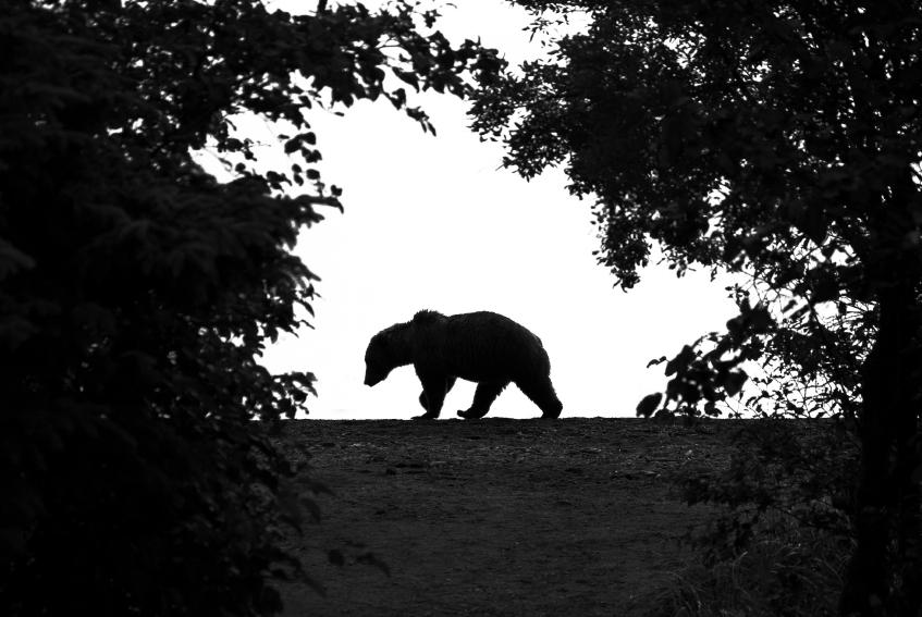 Grizzly bear yukon