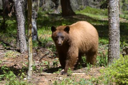 The distinctive colouring of a cinnamon black bear