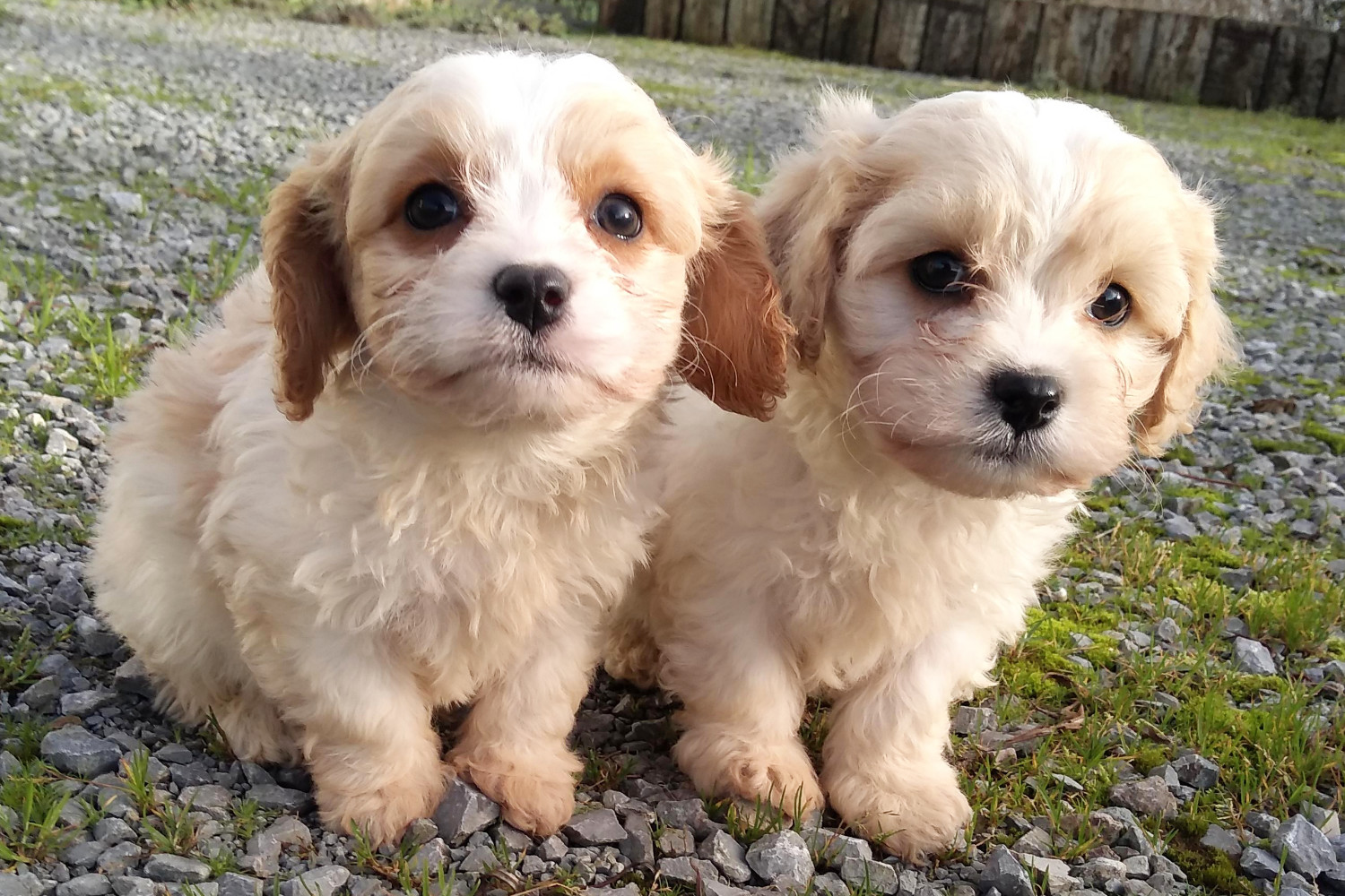 Rossbane Kennels Cavachon And Shichon Puppies Cavachon Puppies Shichon Puppies For Sale In Limerick Ireland