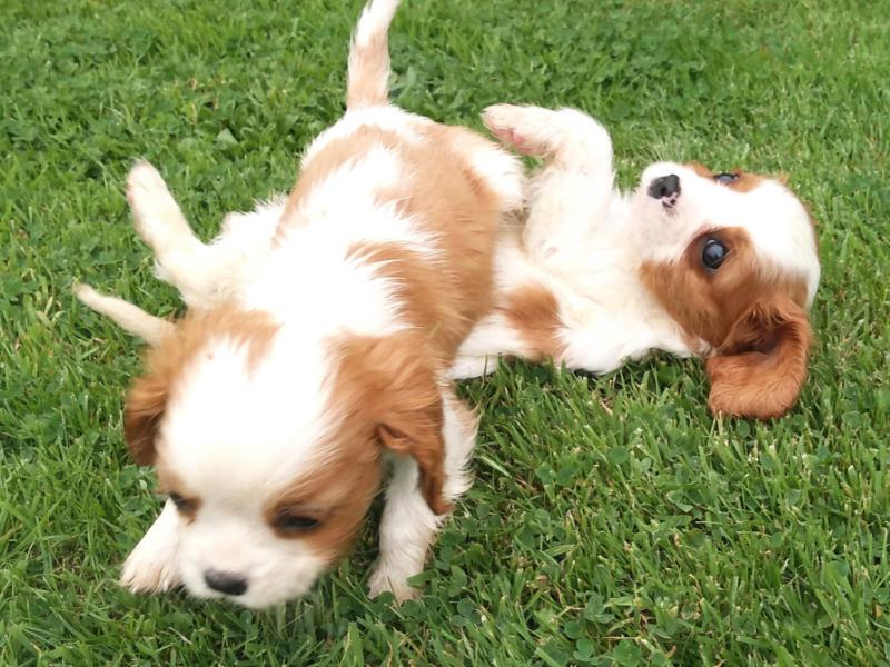 Rossbane Kennels Cavachon and Shichon Puppies - Cavachon