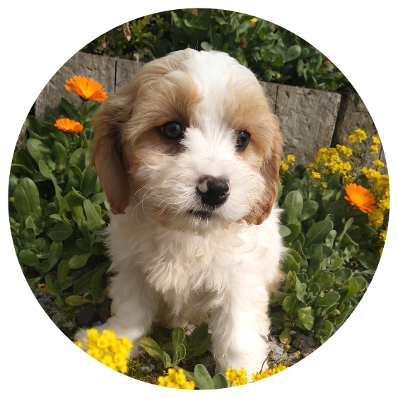 Crossbred hybrid puppies for sale in Limerick  Cavachon