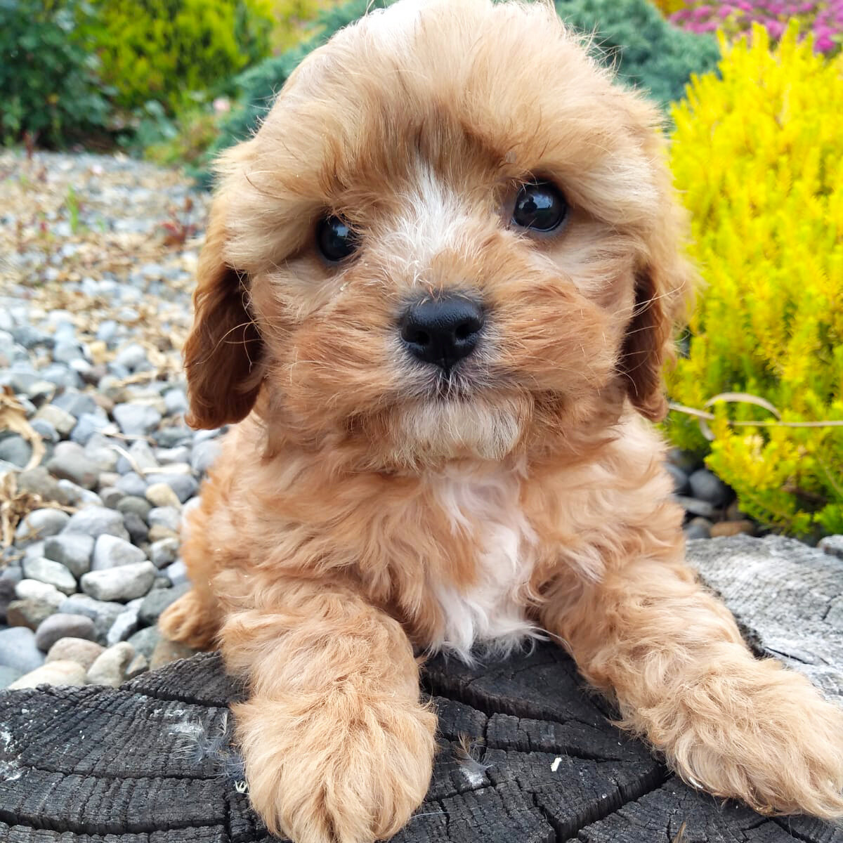 Buy Cavachon Puppies For Sale | Near New York USA