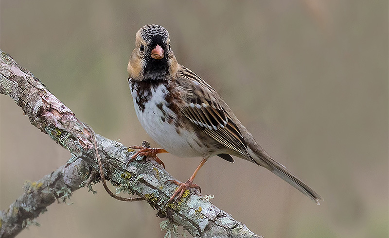 Haris's Sparrow