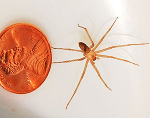 Brown recluse spider - The brown recluse can be a very nasty dude. They are smaller than most people think, as you can see by the picture, but they are our other spider that requires medical attention. Many people identify harmless spiders as brown recluses. Look for a marking on the thorax, which resembles a violin and uniformly colored legs and abdomens; any spider with color variations or patterning on the legs or abdomen is not a brown recluse. A favorite hangout to watch out for – shoes left out in the garage or patio. Shake them out!