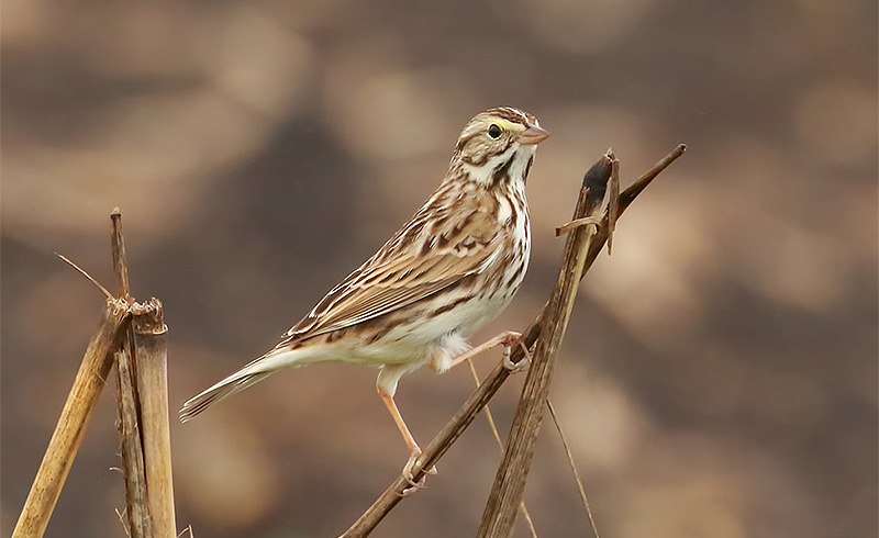 Savannah Sparrow, Lora Render