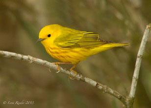 Yellow Warbler, San Antonio
