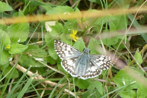bug-White-Checkered-Skipper.jpg