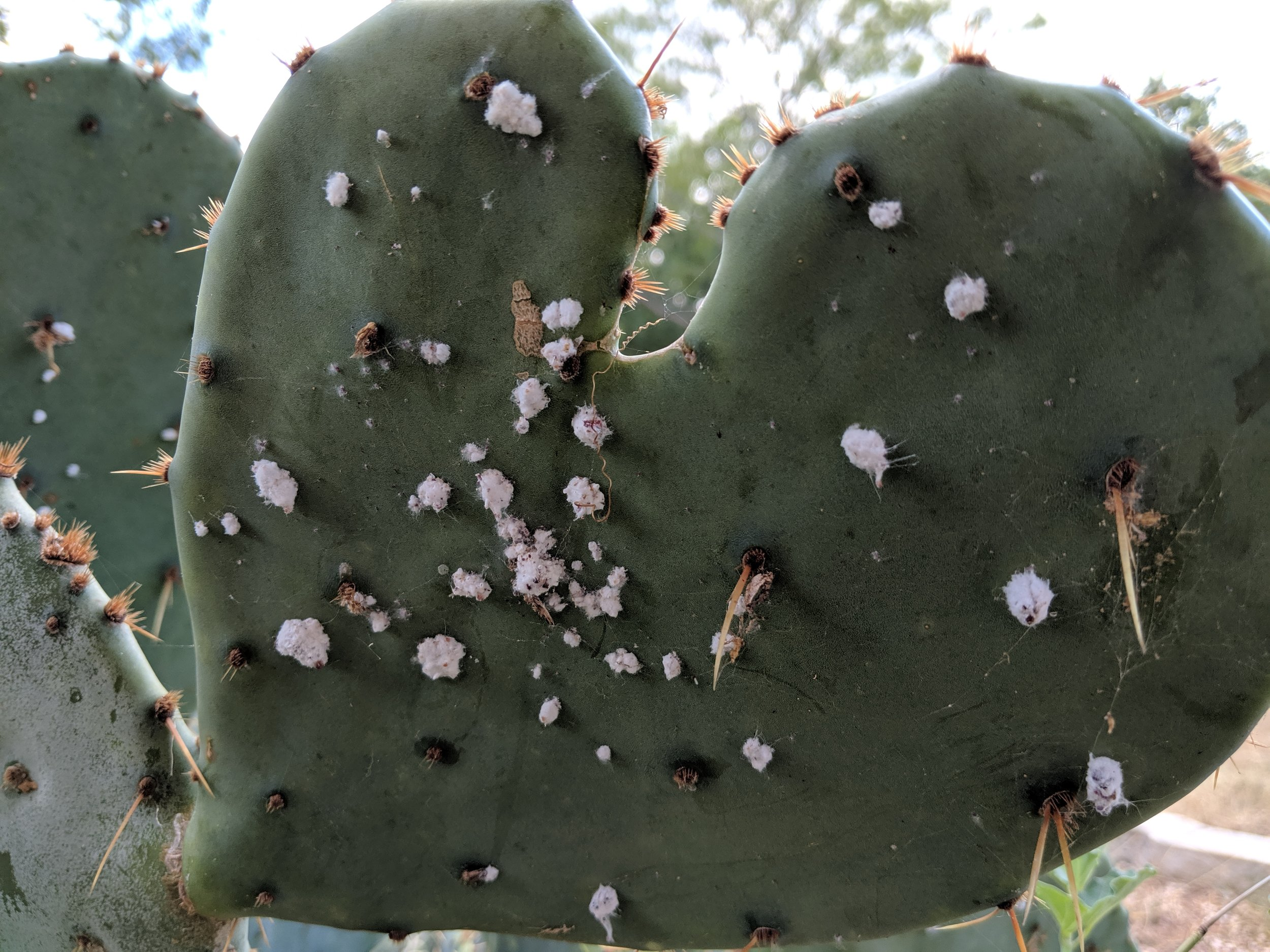 Cochineal on a prickly pear cactus.