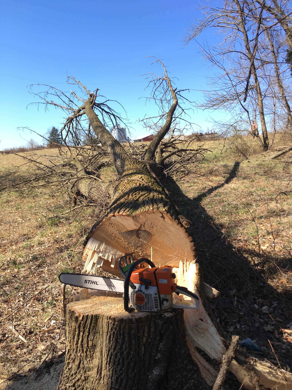 Felling Ash Trees