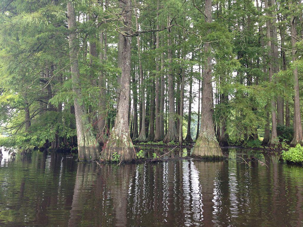 Delmarva's Great Cypress Swamp