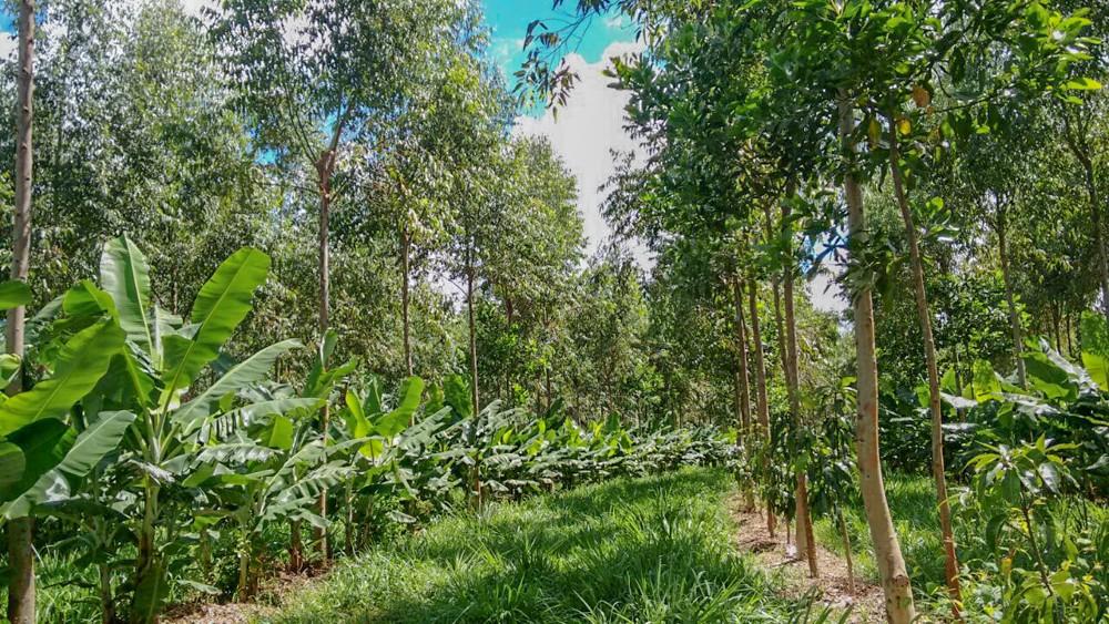 Produção de banana, manga e eucalipto