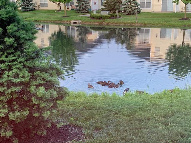 A family of ducks with 8 ducklings are living in my backyard!