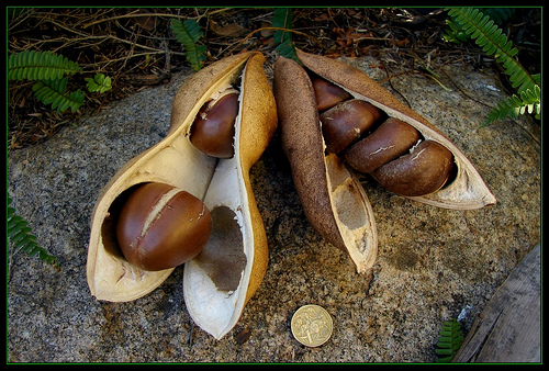 seedpodimage.jpg