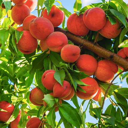 harvester-peach-tree.jpg