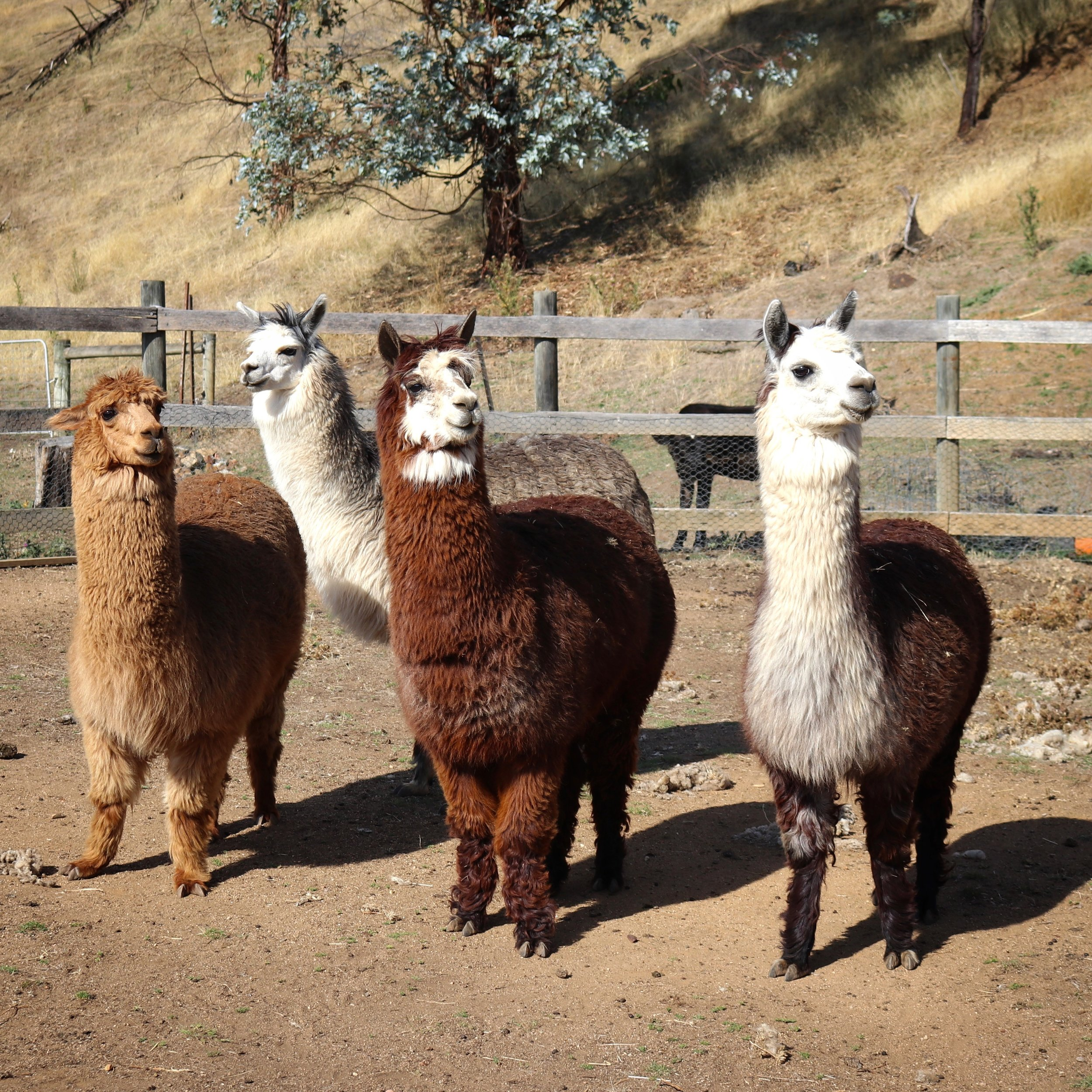 Alpaca Farm Launceston