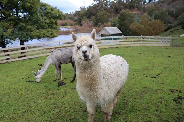 This guy isn't camera shy at all! Visit Team Alpaca this weekend - from 8:30 to 5. ⁠ ⁠ ⁠ ⁠ #stonesthrowlaunceston #launcestontasmania #launcestonrestaurant #tasmanianscenery #farmlife #visitlaunceston #visittasmania #alpaca #teamalpaca