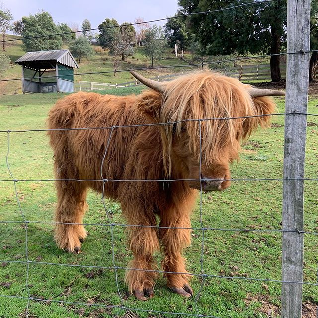 Look at Joanie's baby horns 😍  #hairycow #hairycoo #highlandcow #highlandcowsofinstagram #stonesthrowlaunceston #farmfriends