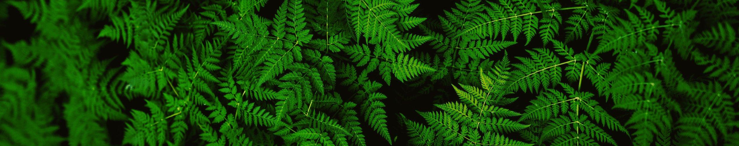 Fern forest -