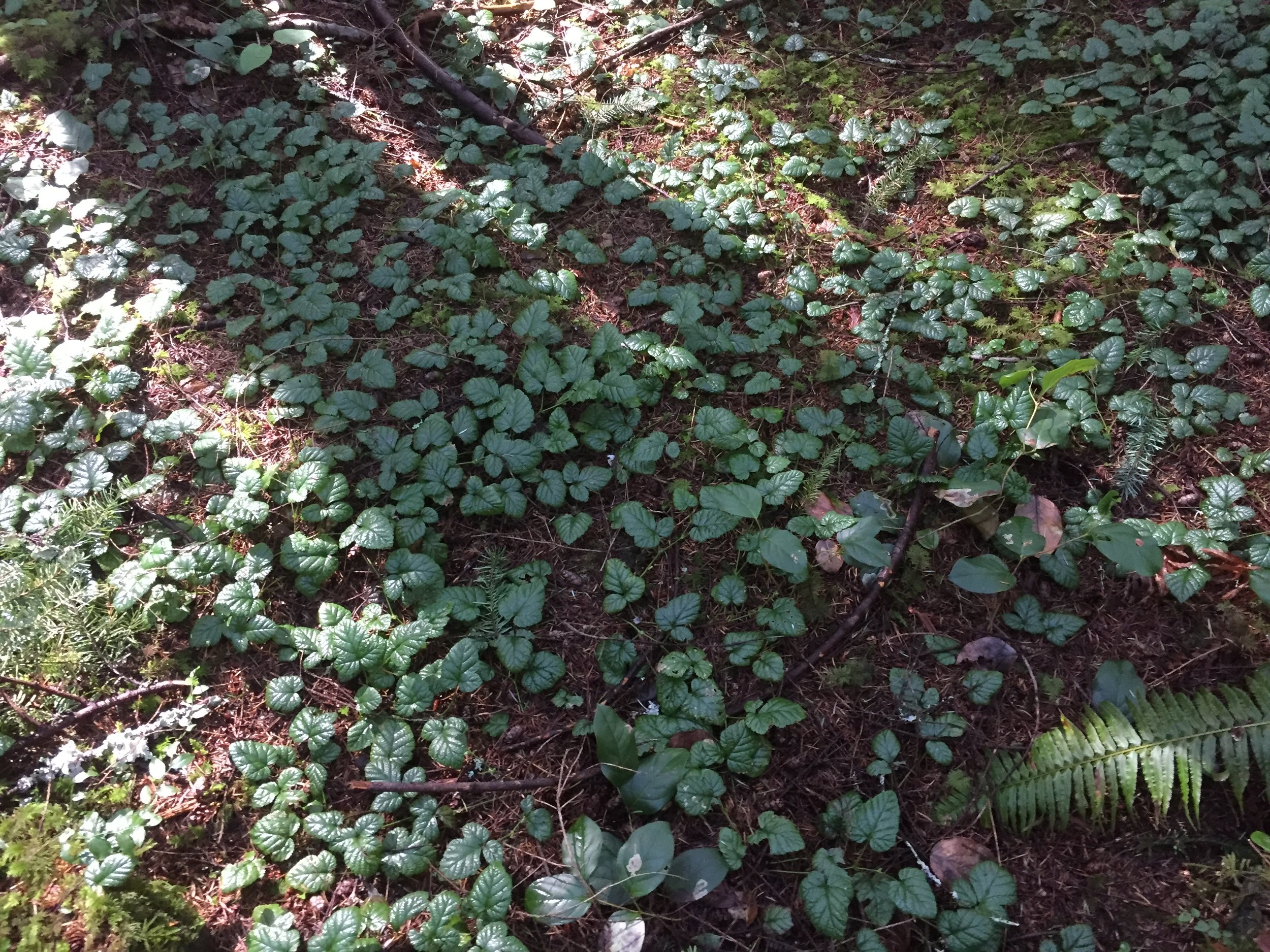 Clack Creek Rubus Nivalis 039.JPG