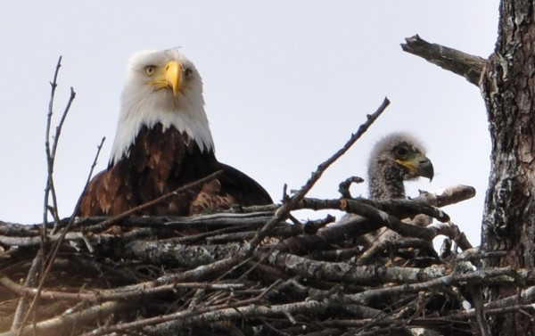 Eaglet and Dad – Photo: Barb Biagi