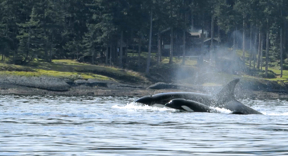 Orcas-west coast wildlife-Louis jobidon.png