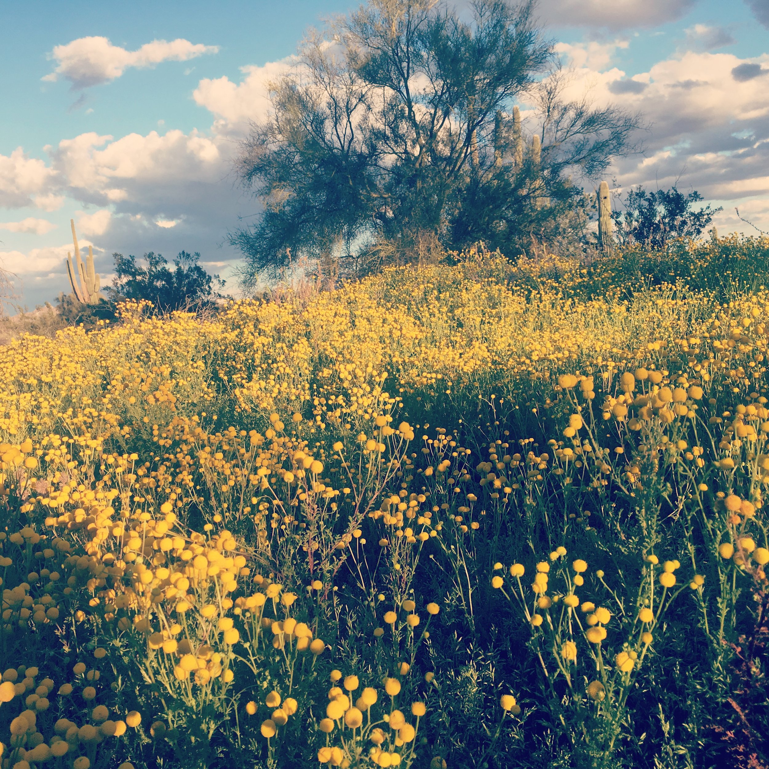 Globe Chamomile in prolific abundance - Scottsdale, Arizona