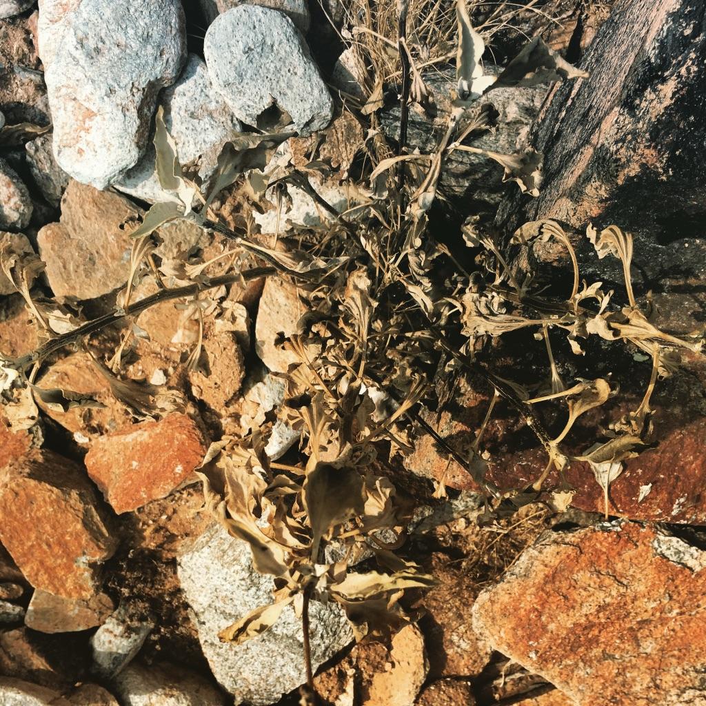 Encelia farinosa