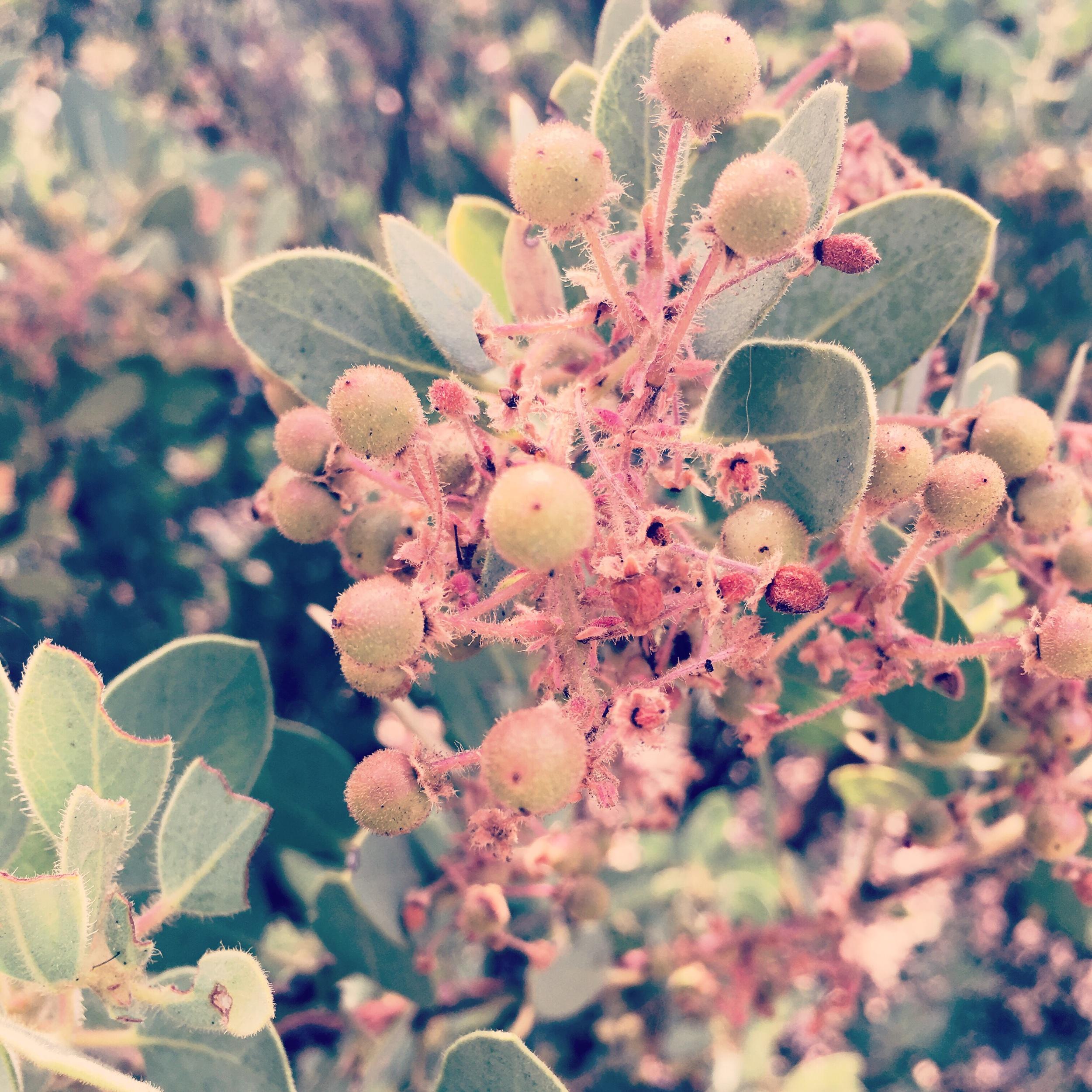 Unripened Berries -