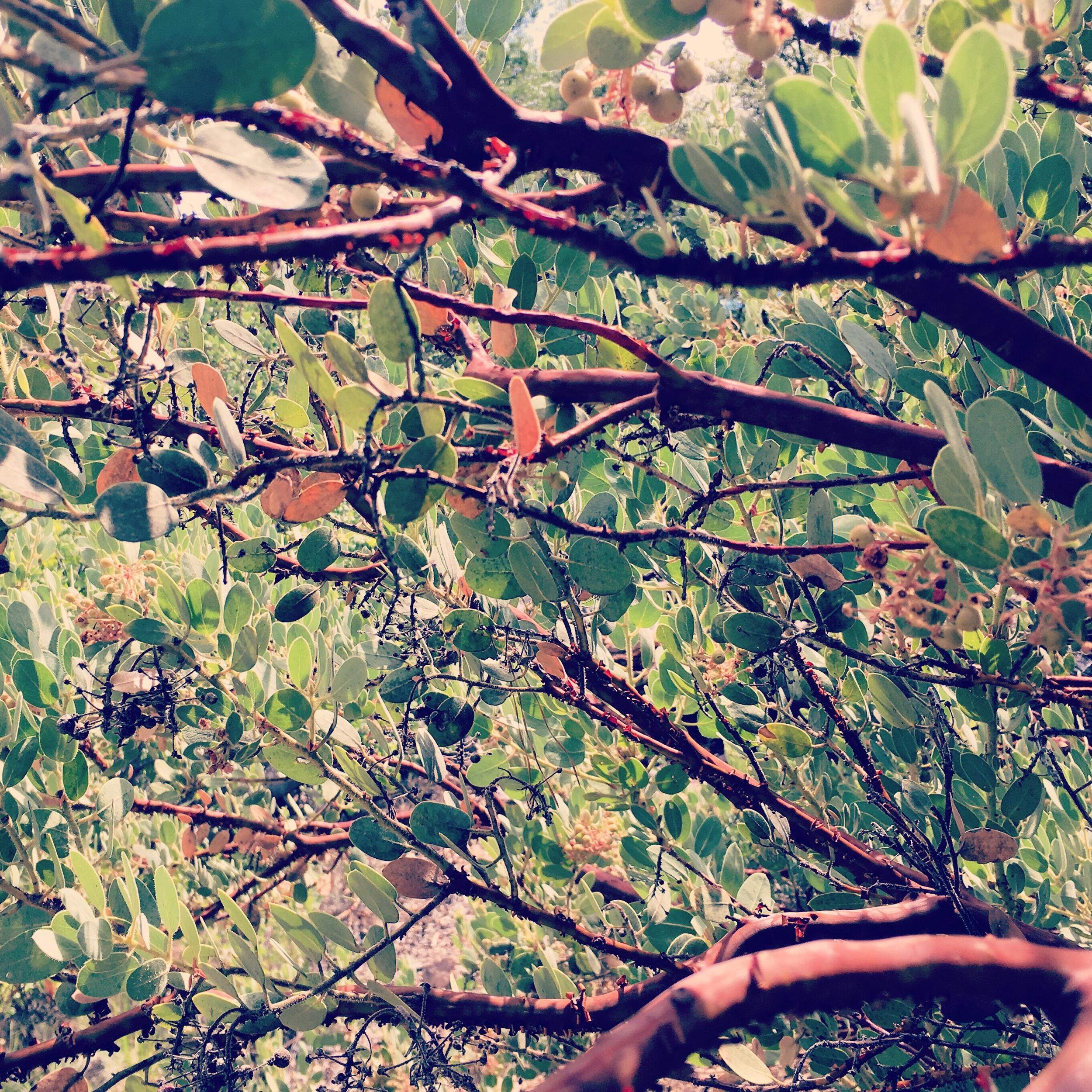 Manzanita Branches -