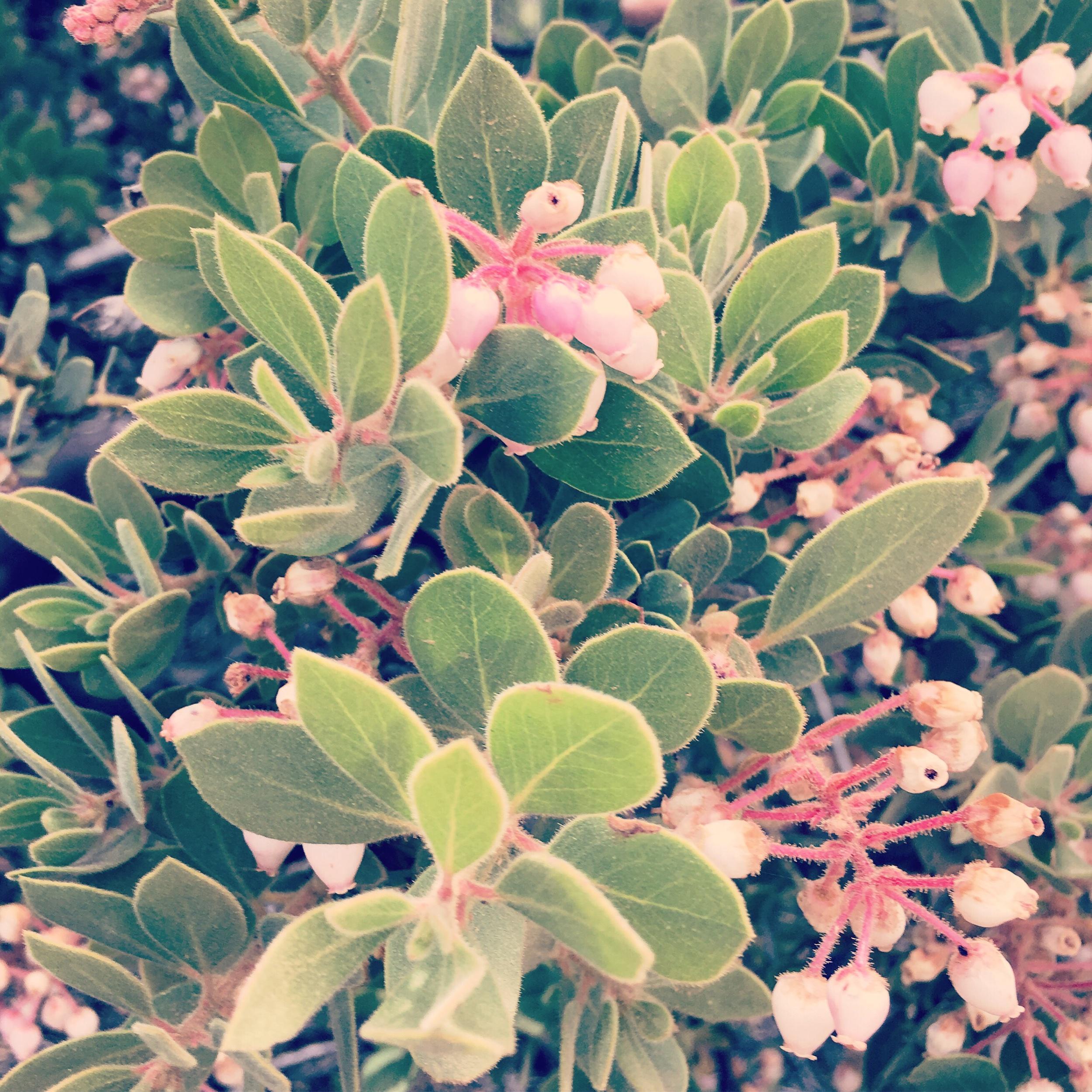 Manzanita Flowers -