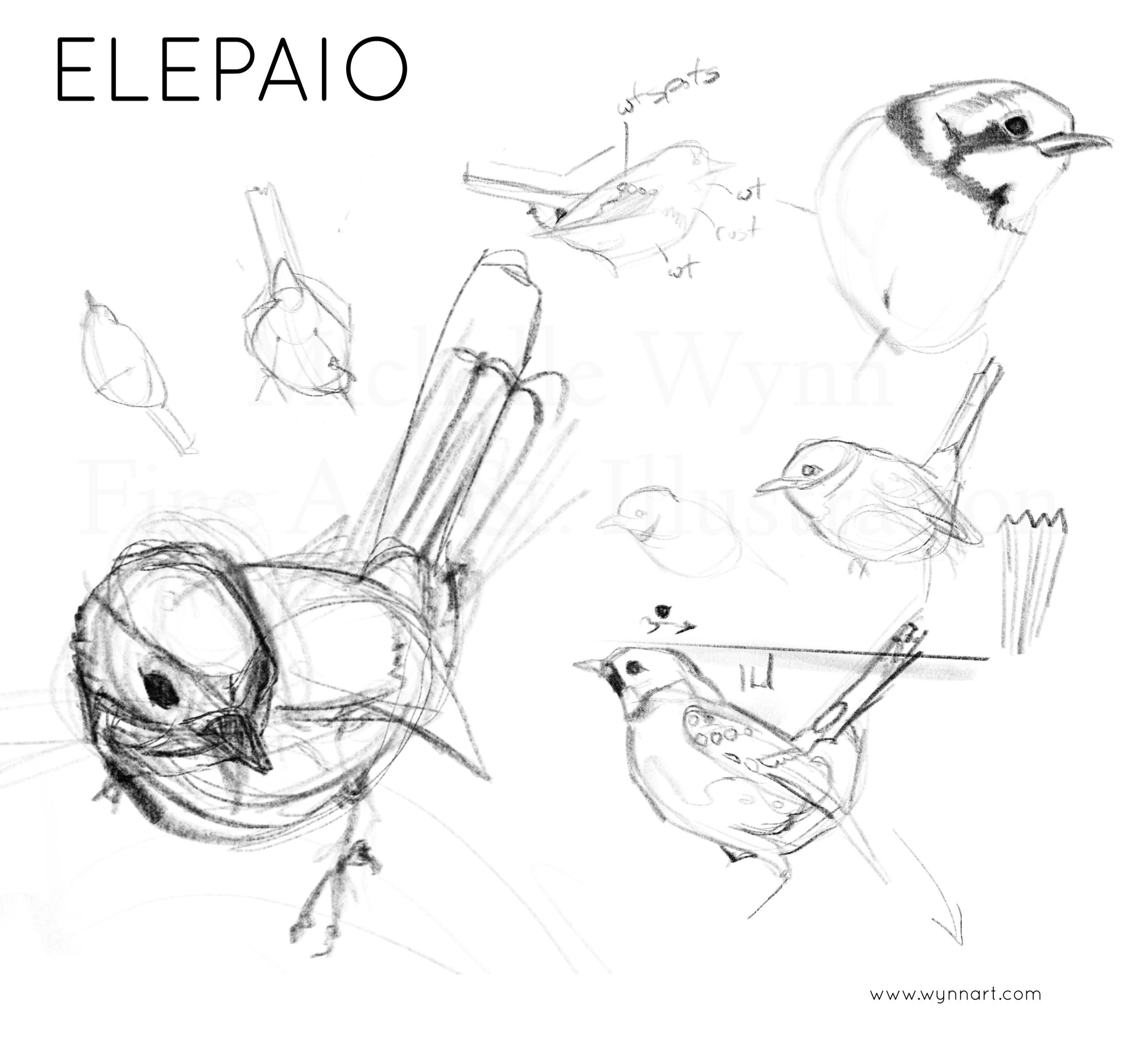 Quick sketches of the elepaio.