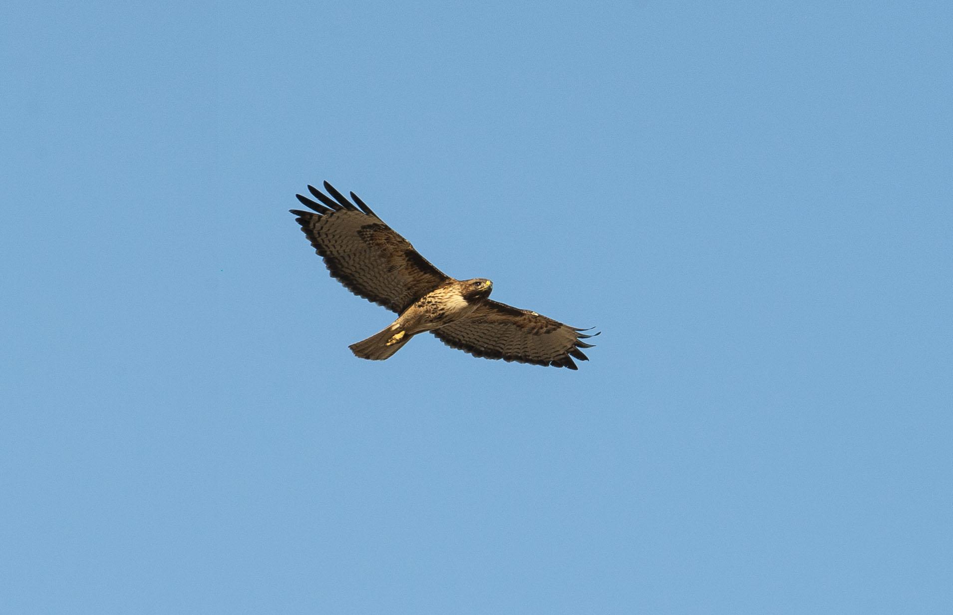 20150620-Palouse Hawk-1.jpg