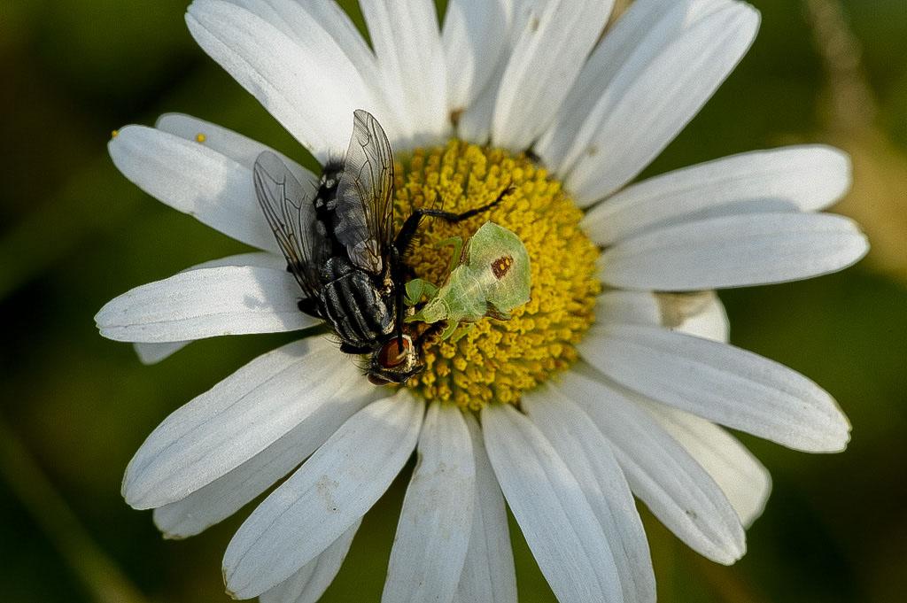 Assassin Bug with Fly.jpg