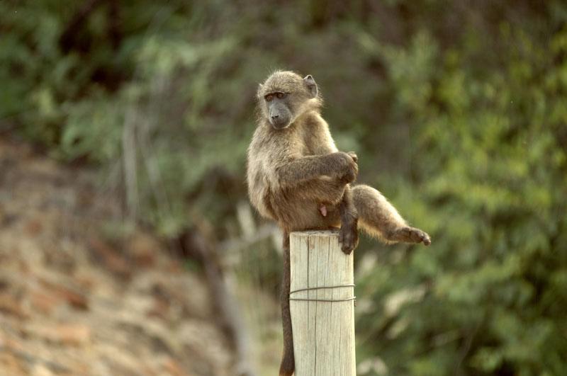Baboons 7.jpg