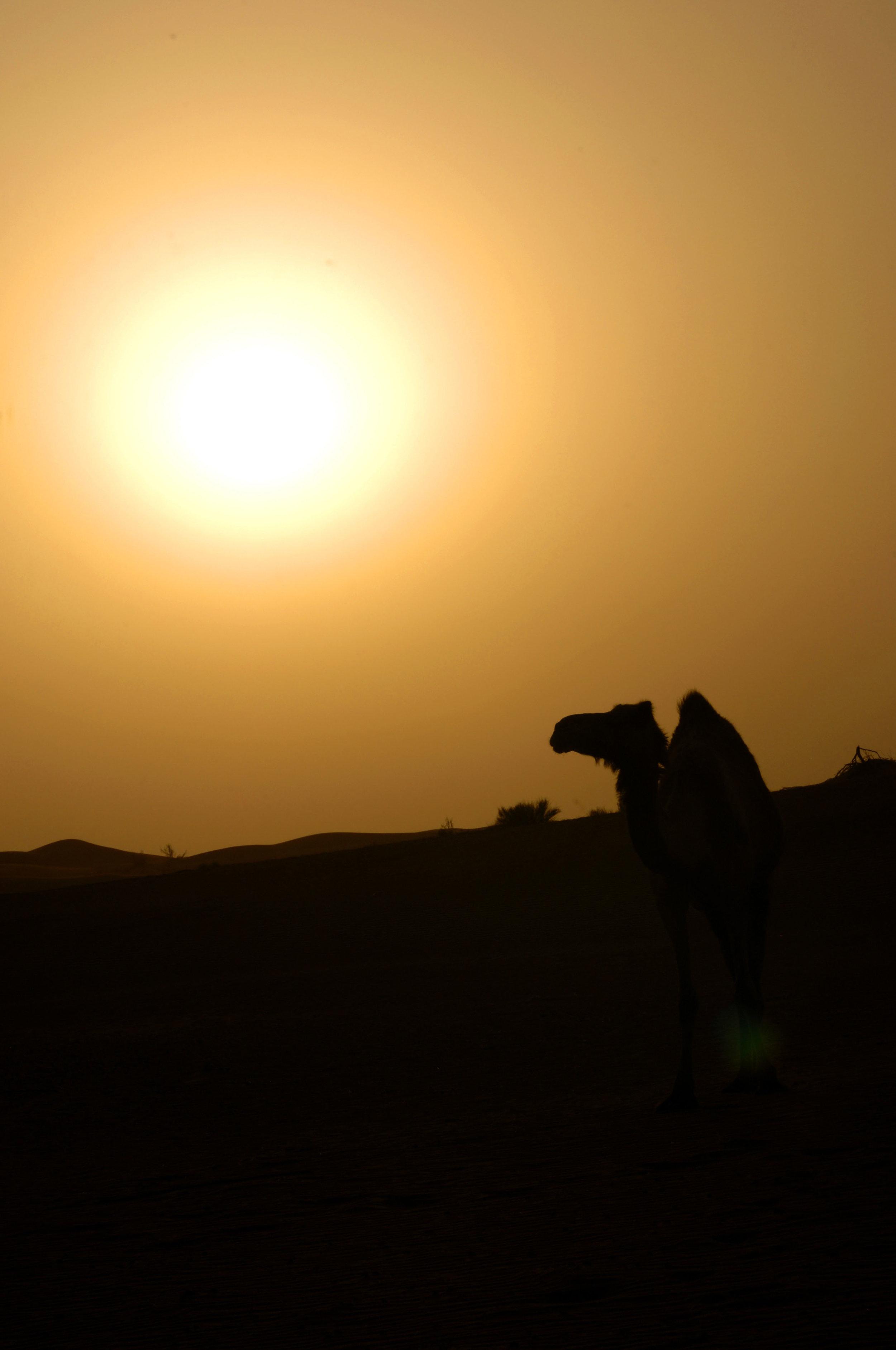 Camel at Sunset.jpg