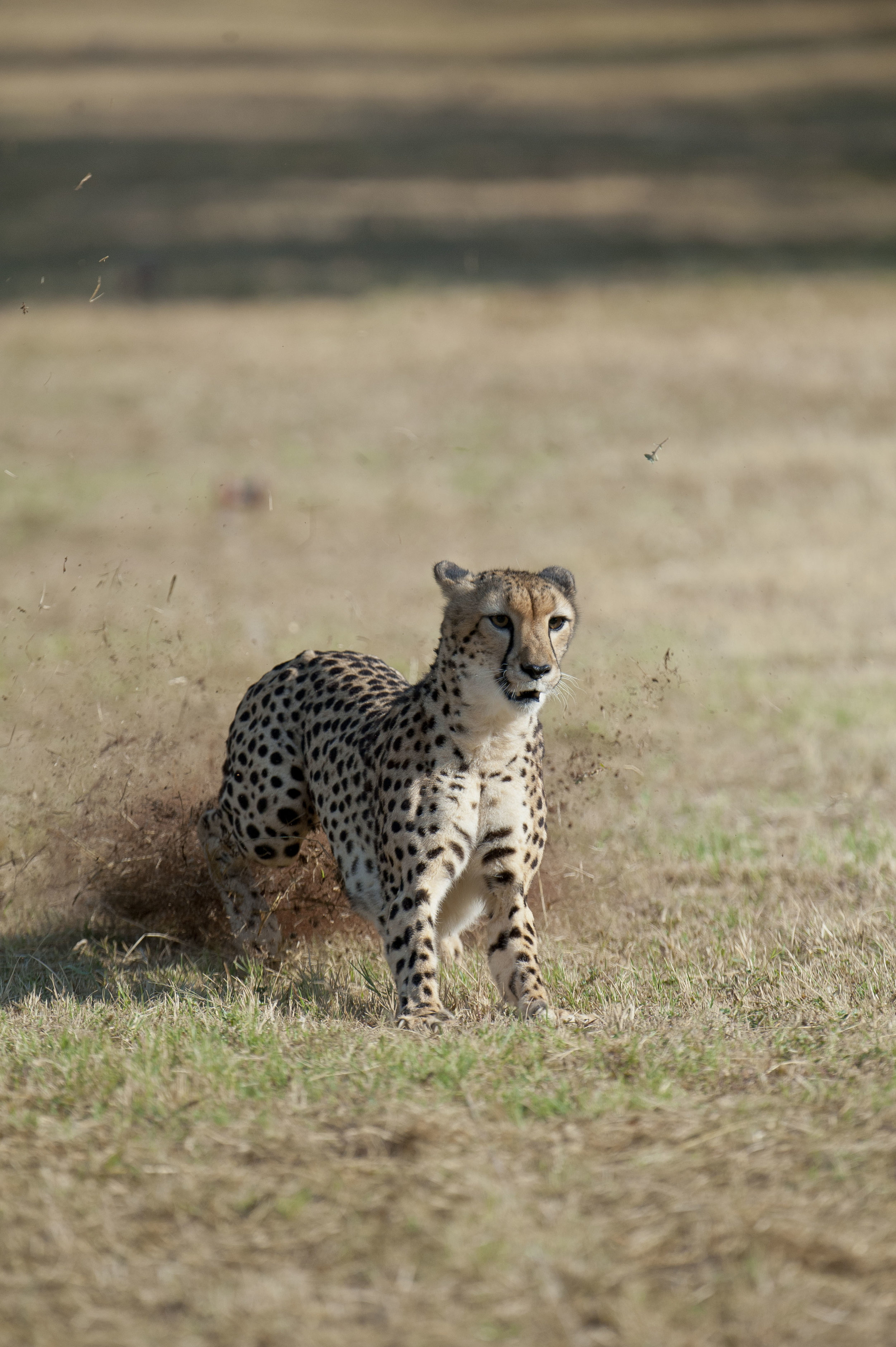 Cheetah Stopping.jpg