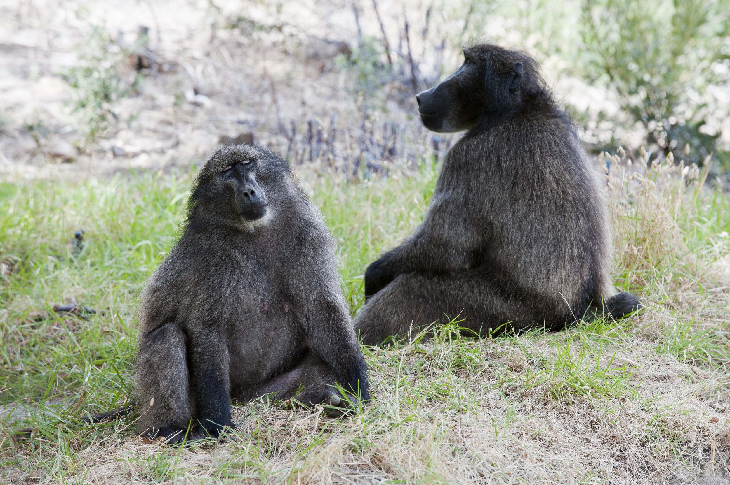 Cape Baboons.jpg