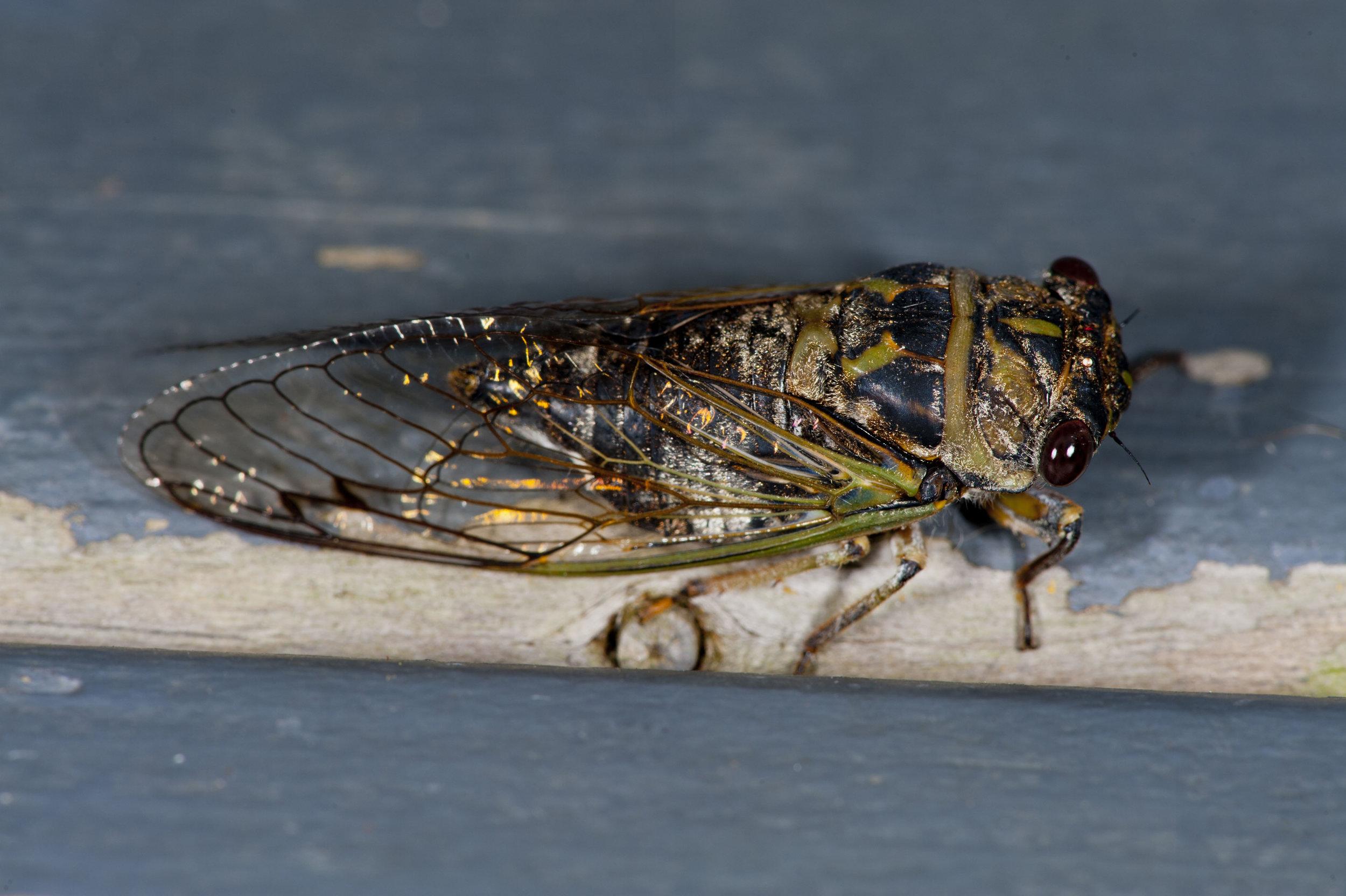 Cicada 2.jpg